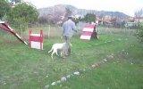 dogo argentino ileri itaat eğitim