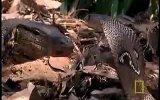 vahşi yaşam-[ kral kobra]