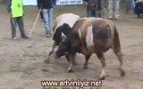 artvin  kafkasör festivali boğa güreşleri 2007 video