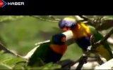 Papağan Sürülerinden Renkli Görüntüler