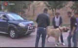 1,5 Tonluk Arabayı Çeken Kangal Köpeği