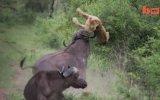 Bufaloya Saldıran Aslanın Hazin Sonu