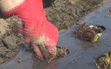 Çilek fideleri toprakla buluşmaya başladı - MERSİN