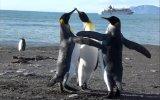 Kabadayı penguenlerden amansız kavga!