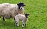 Kurbanlık Koyunlar Çıldırdı!