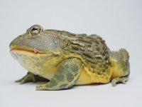 Kurbağanın Fareyi Tek Hamlede Yutması