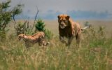 African Cats: Kingdom Of Courage Fragman 2